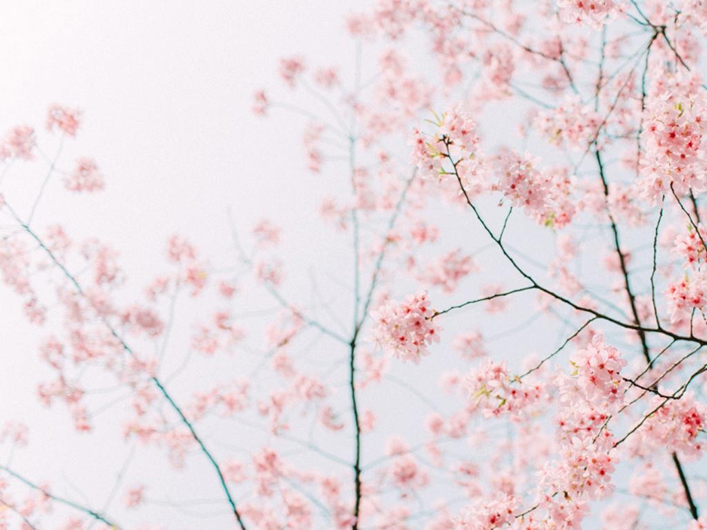 樱花 高清护眼电脑壁纸下载